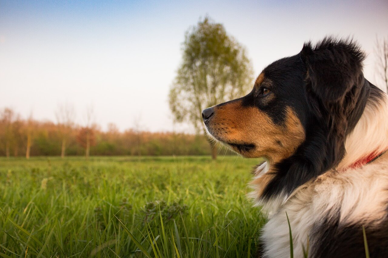 how to train a puppy to be a guard dog