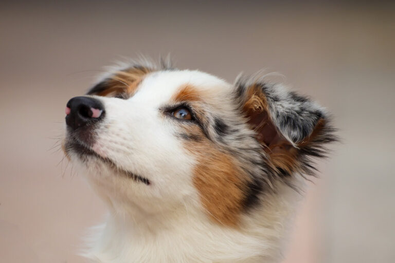 how to clean puppy tear stains